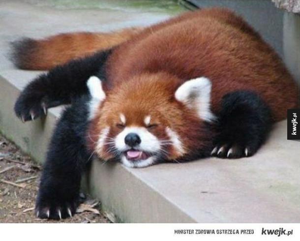 Czy istnieje coś słodszego niż pandy czerwone?