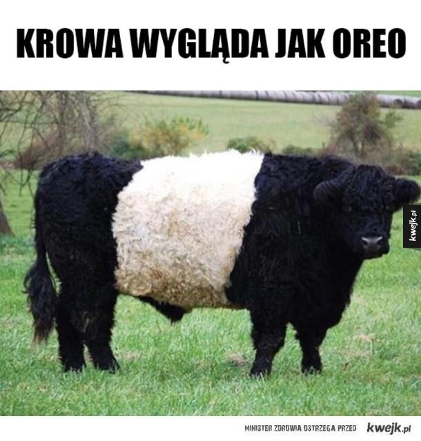 Krowa oreo