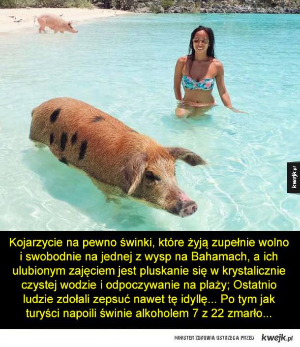 Ludzie uśmiercili pływające świnki