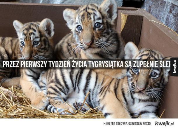Jeśli do tej pory nie uważaliście, że tygrysy są ekstra, to teraz zaczniecie