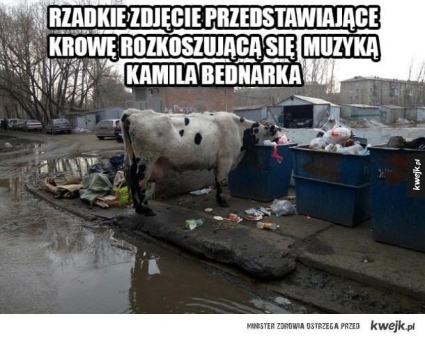 Krowa słucha bednarka