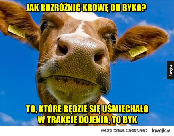 Krowa a byk