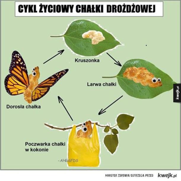 Cykl życiowy chałki drożdżowej