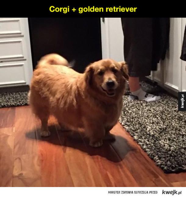 Corgi plus inna rasa psów to potężna dawka słodyczy