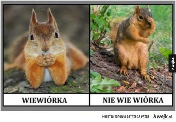 Wiewiór