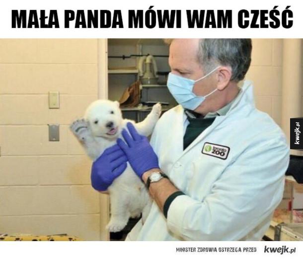 Mała panda pozdrawia świat