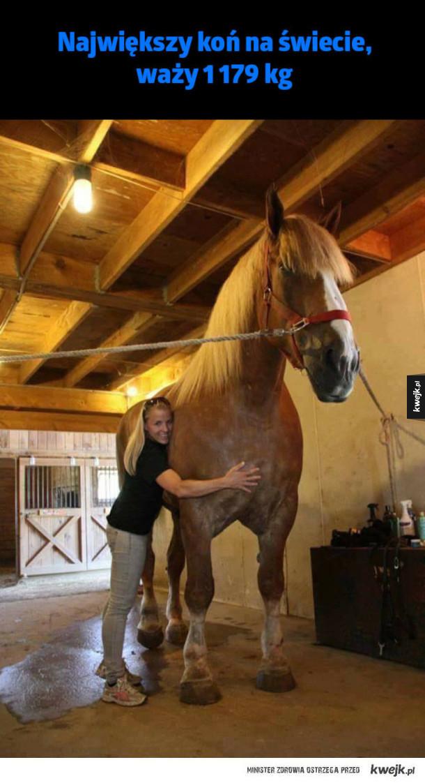 Największy koń - #koń