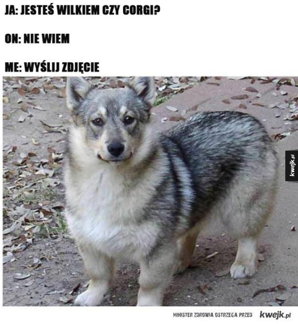 To Wilk czy Corgi?