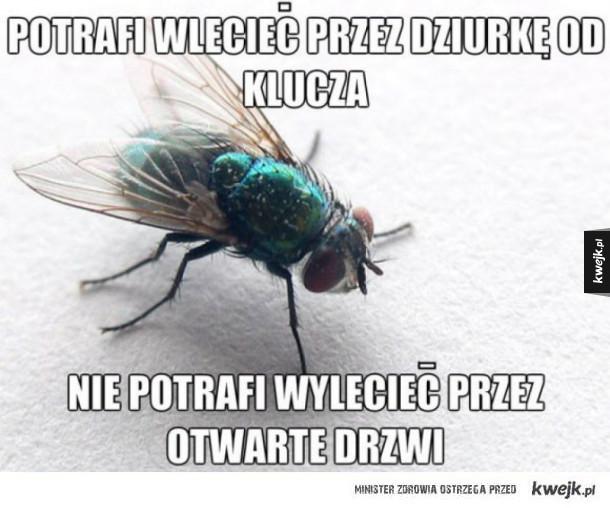 Typowa mucha