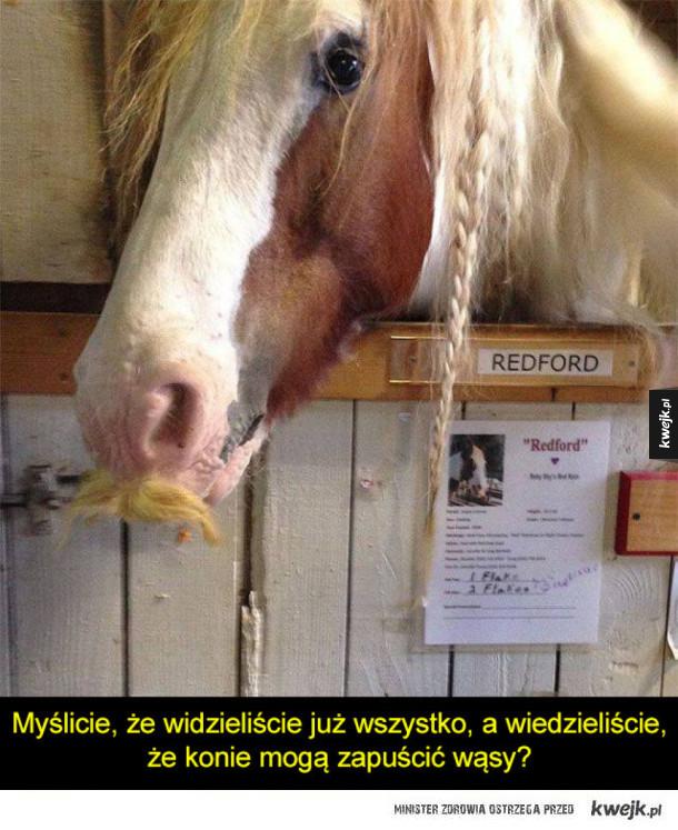 Konie z wąsami