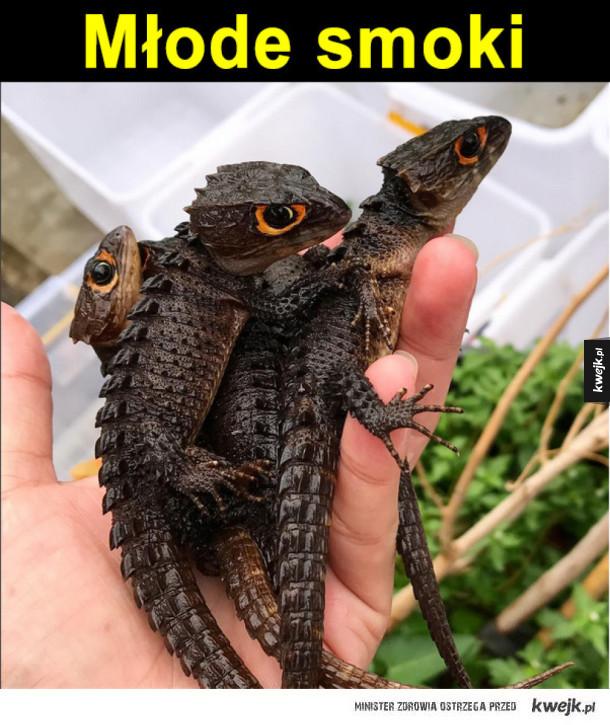 Scynk krokodylowy x 3