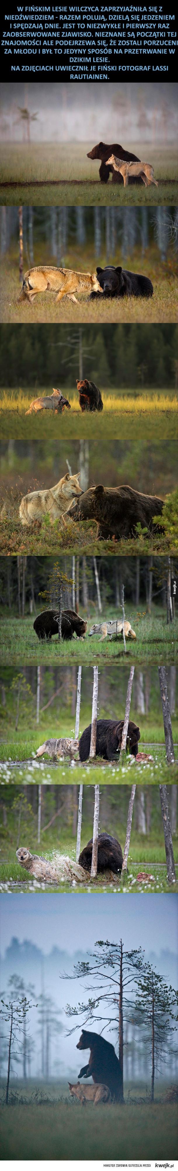 Wilczyca zaprzyjaźniła się z niedźwiedziem