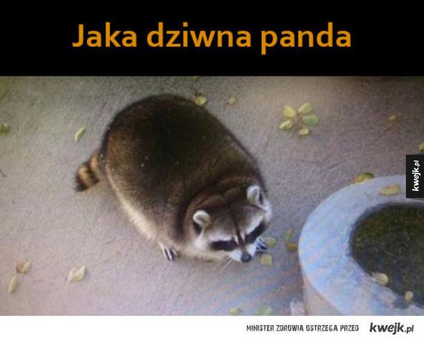 dziwna panda