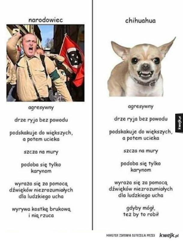 Narodowiec vs chihuahua