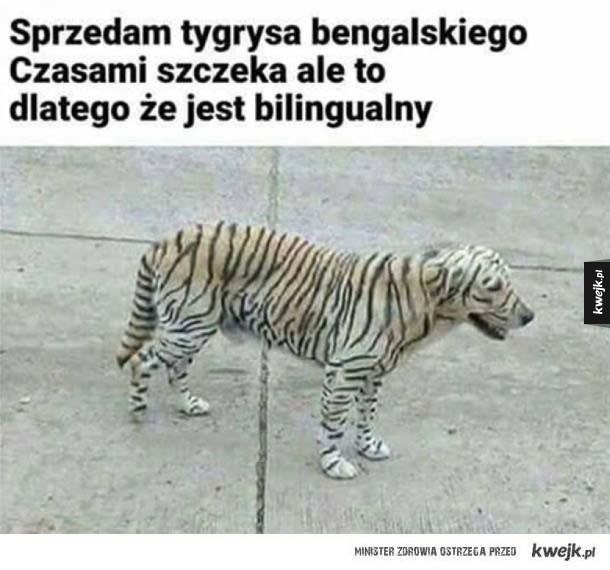 Bardzo mądry tygrys