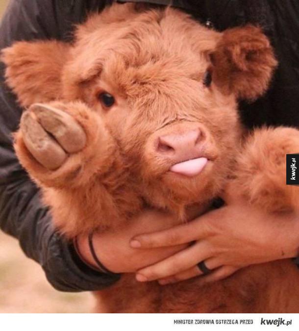 Krowy szkockiej rasy wyżynnej są przeurocze
