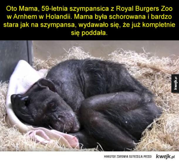 Wzruszające pożegnanie szympansicy z jej opiekunem