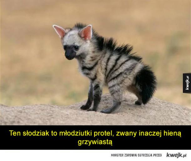 Protel - prawdopodobnie najsłodsze zwierzątko, o którym nigdy nie słyszałeś