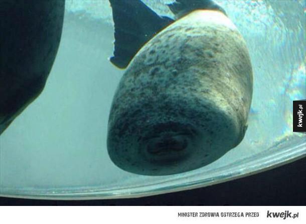 Tak wygląda foka, która zderzyła się ze ścianą akwarium