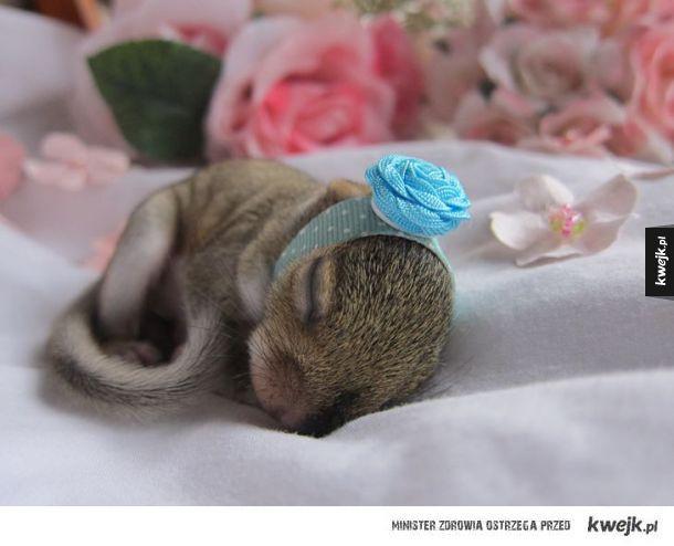 Mała wiewióreńka