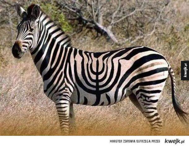 Koszerna zebra xD