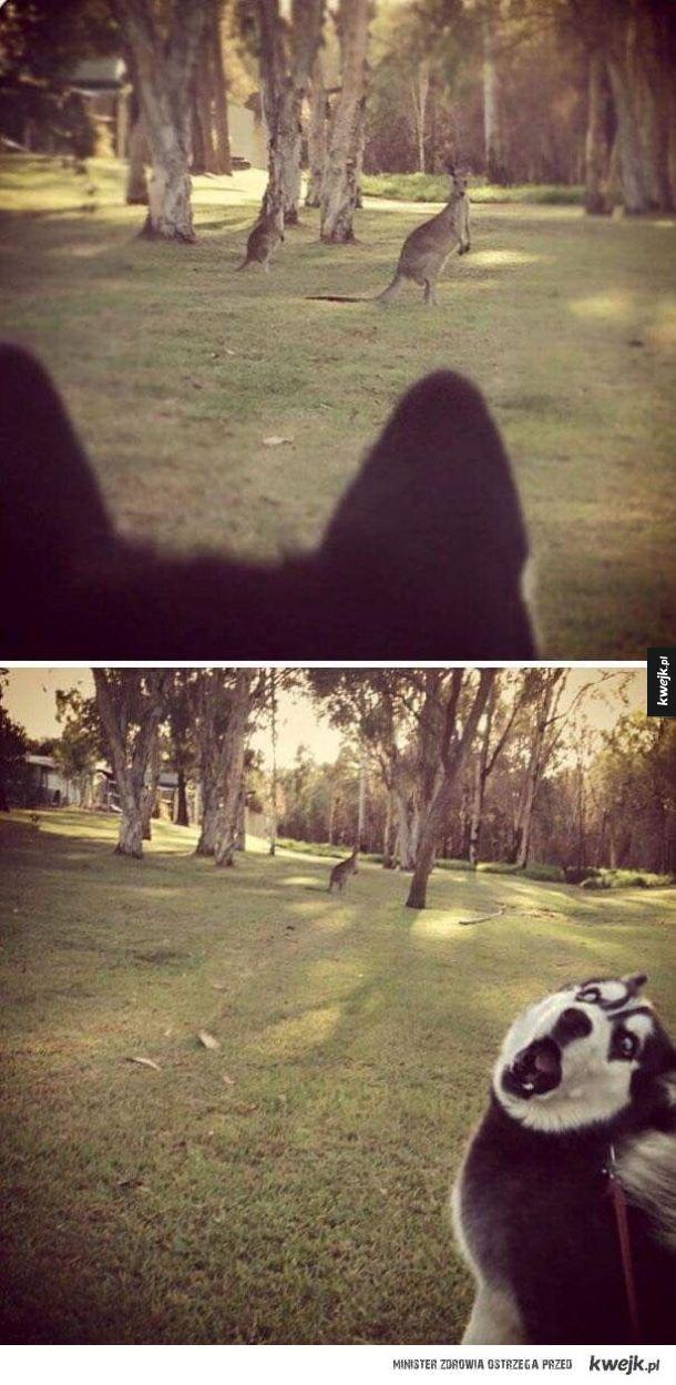 Pierwszy raz widzi kangura