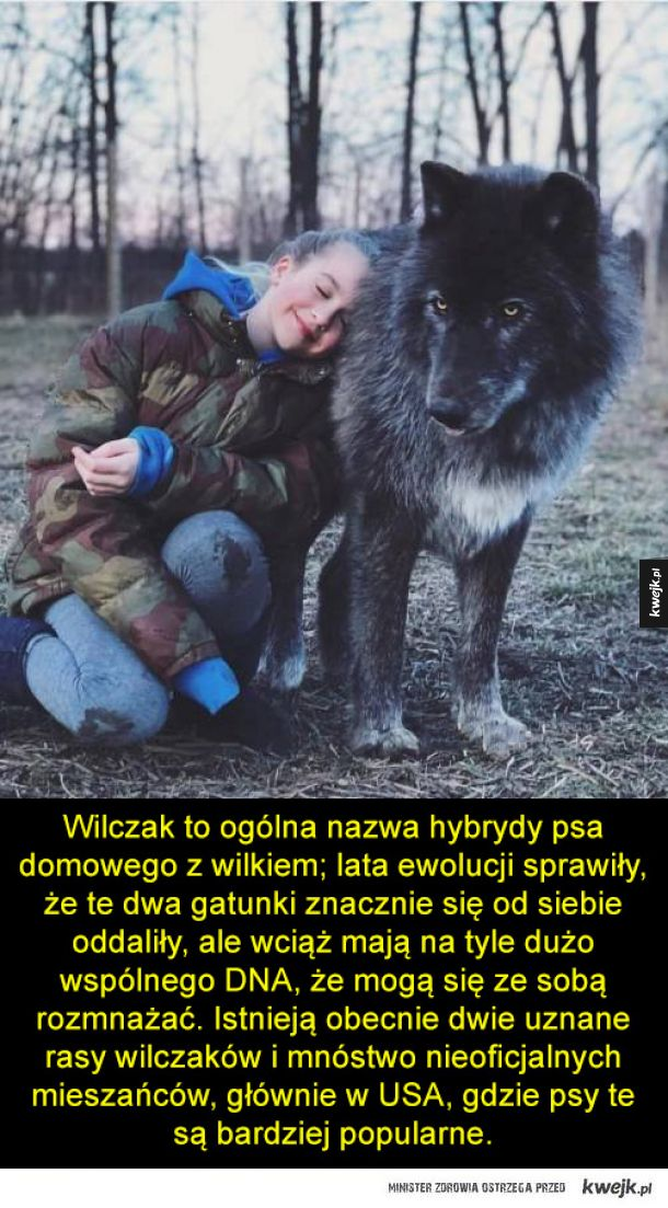 Wilczak, czyli mieszanka psa i wilka