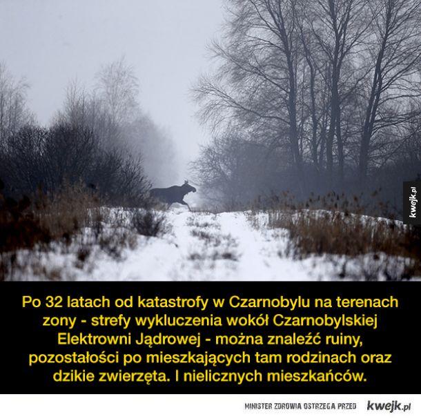 Czarnobyl 32 lata po katastrofie zamienił się w królestwo zwierząt