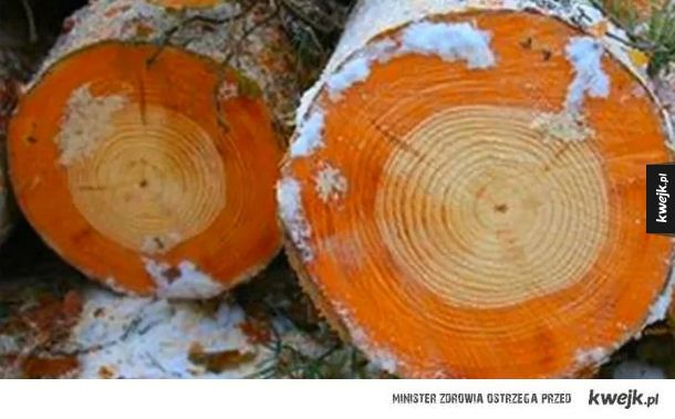Drzewo przed i po wybuchu w Czarnobylu