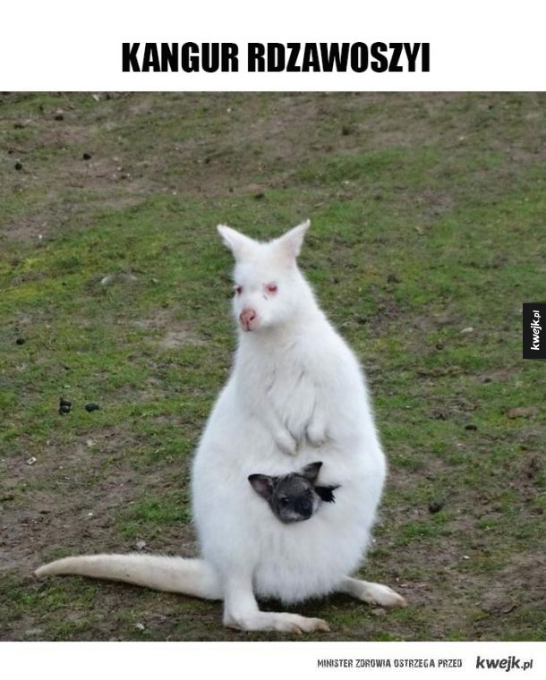 Kangur albinos