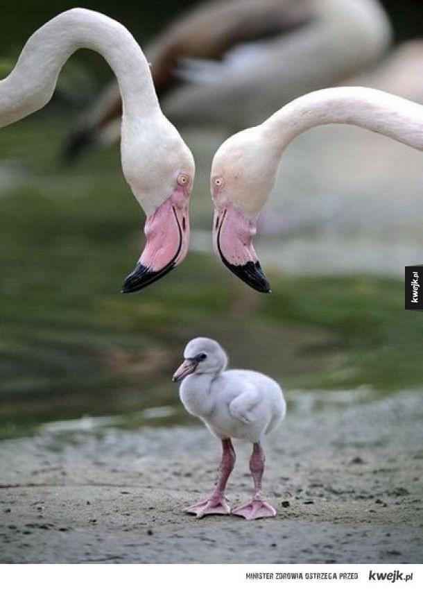 tak wygladam mały flamingo