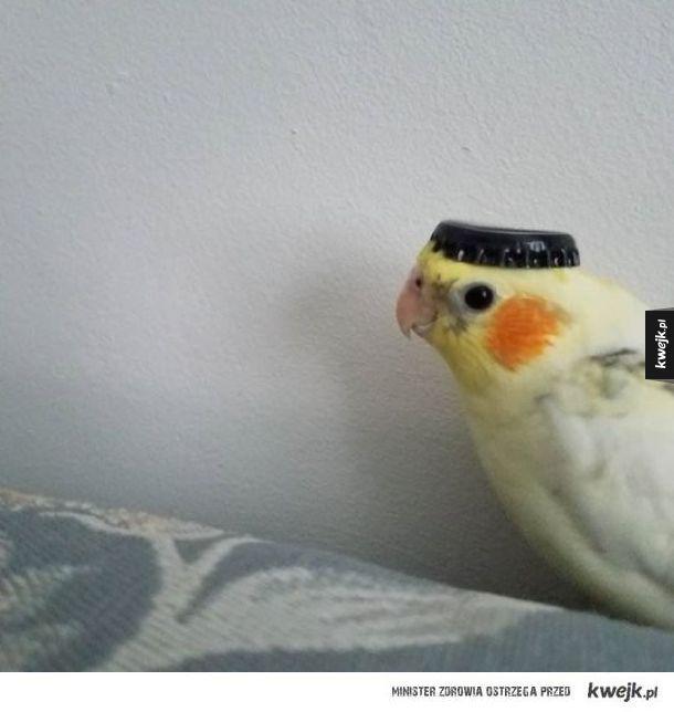Papuga-żyd