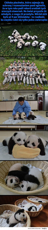 Chronią pandy