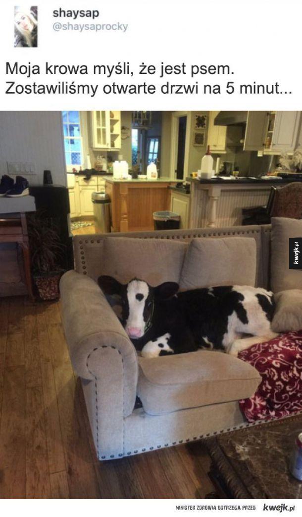 Co ta krowa
