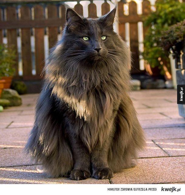 Norweski leśny kot