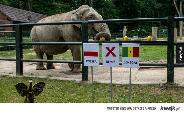 Słonica Citta typuje wygraną Polakow w meczu z Senegalem. A wy co o tym sądzicie ?