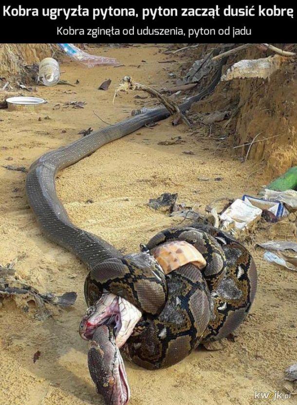 Kobra i Pyton