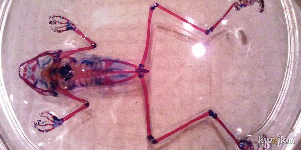 Przeźroczysta żaba znaleziona w Rosji