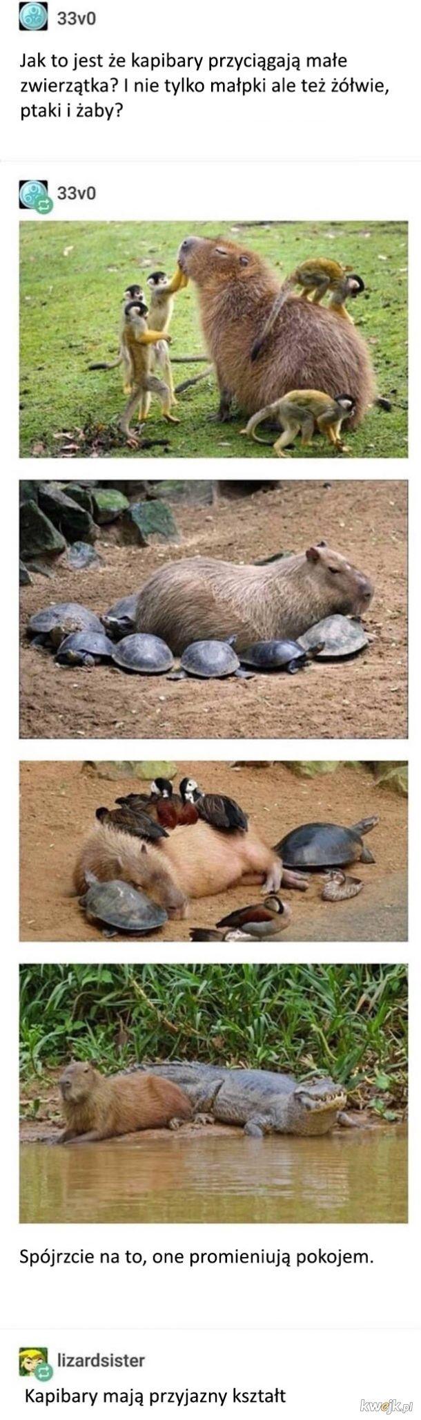 Słodkie kapibary