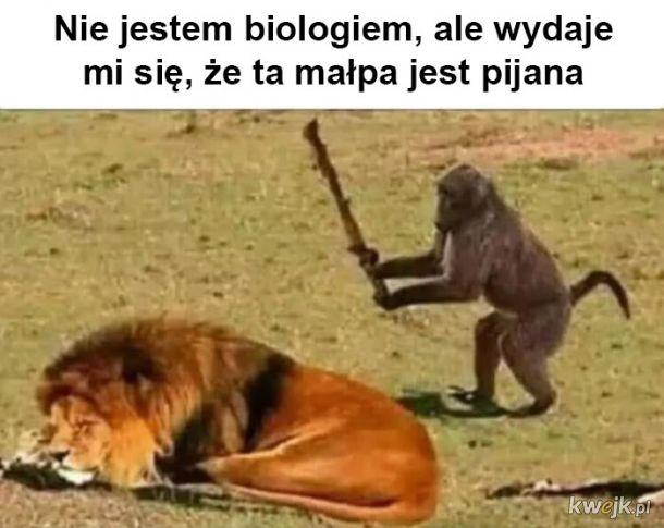 Pijany małpiszon
