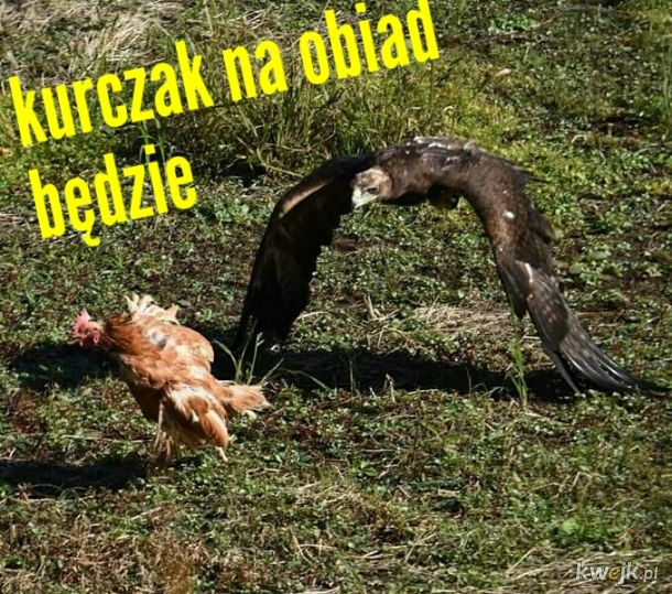 kurczak z szybkiego wybiegu