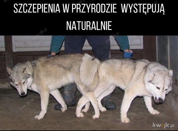 Szczepione dzikie wilki