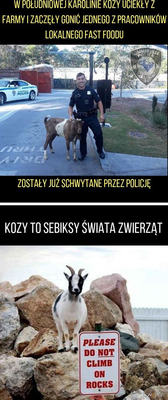 Goniony przez kozy