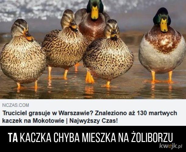 Ktoś truje kaczki