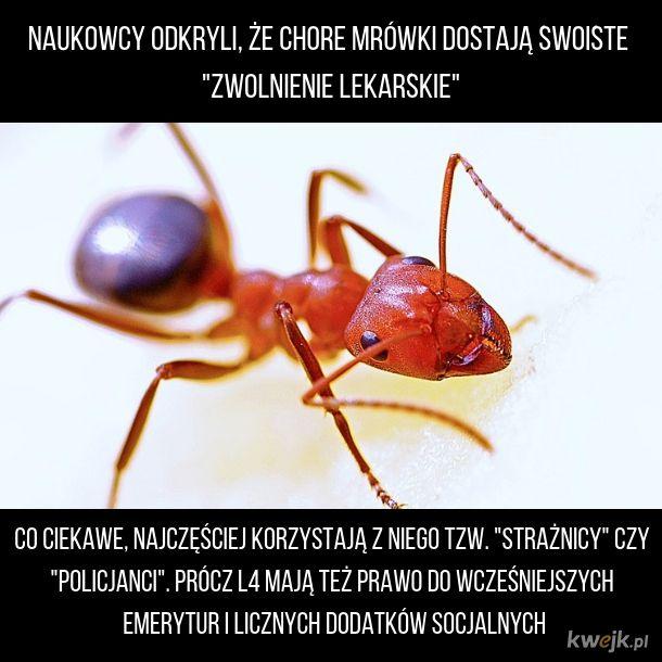 Mrówka na L4