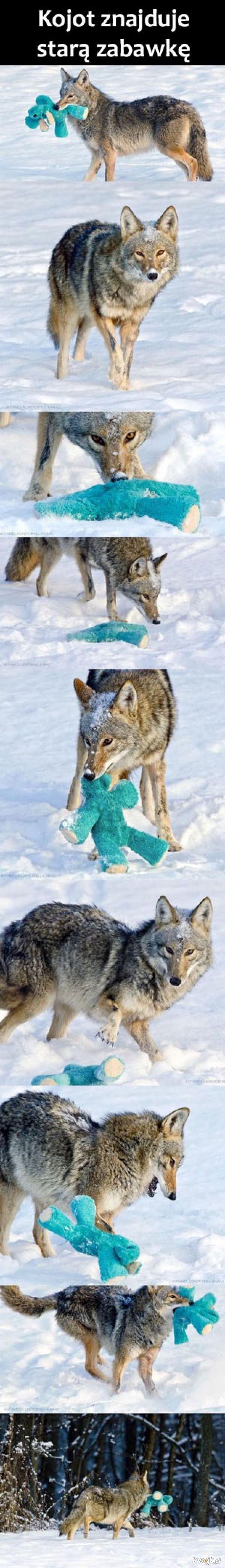 Słodki kojot