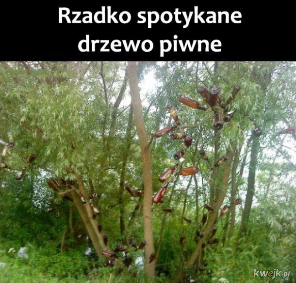 Drzewo piwne