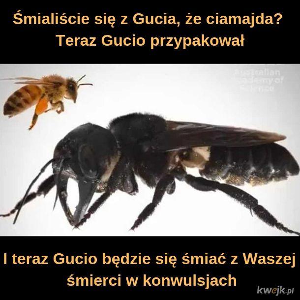 Odkryto największą pszczołę na świecie