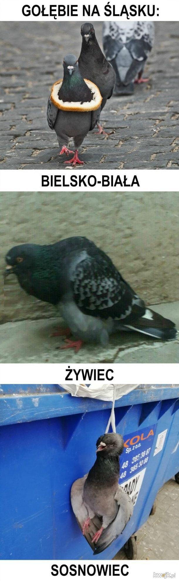 Śląskie gołębie