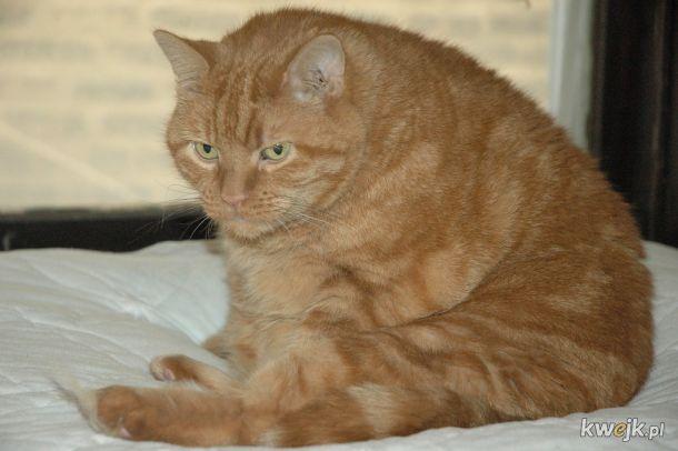 Trochę zdjęć grubych kotów (+jedna grafika i 3 gify)
